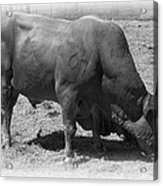 Bull Number 07 Acrylic Print by Daniel Hagerman