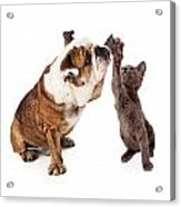 Bulldog And Kitten High Five  Acrylic Print by Susan  Schmitz