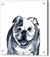 Bulldog  Acrylic Print by Barbara Marcus