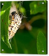 Butterfly Larvae Acrylic Print by Andrew Gaylor