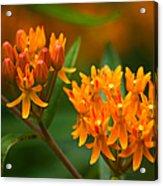 Butterfly Milkweed Acrylic Print by Adam Romanowicz