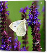 Cabbage White Butterfly Acrylic Print by Christina Rollo