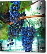 Cabernet Sauvignon Grapes Acrylic Print by Robert Bales