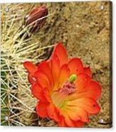 Cactus Flower Bright Acrylic Print by Feva  Fotos