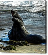 California - Elephant Seals Of Big Sur 006 Acrylic Print by Lance Vaughn