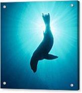 California Sea Lion  Channel Islands Np Acrylic Print by Flip Nicklin