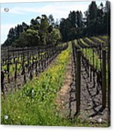 California Vineyards In Late Winter Just Before The Bloom 5d22166 Acrylic Print by Wingsdomain Art and Photography