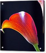 Calla Colors And Curves Acrylic Print by Rona Black