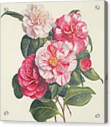 Camelias Acrylic Print by Augusta Innes Withers