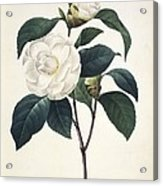Camellia Japonica, 19th Century Acrylic Print by Science Photo Library