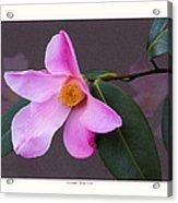 Camellia 'tulip Time' Acrylic Print by Saxon Holt