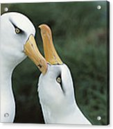 Campbell Albatrosses Courting Campbell Acrylic Print by Tui De Roy