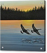 Canada Geese Acrylic Print by Kenneth M  Kirsch