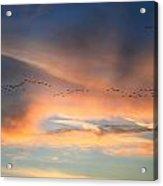 Canada Goose Flock Sunset Acrylic Print by John Burk
