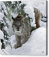 Canada Lynx Hiding In A Winter Pine Forest Acrylic Print by Inspired Nature Photography Fine Art Photography