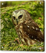 Canada's Smallest Owl - Saw Whet Owl Acrylic Print by Inspired Nature Photography Fine Art Photography