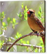 Cardinal In Spring Acrylic Print by Sandi OReilly