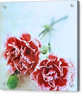 Carnations Acrylic Print by Stephanie Frey