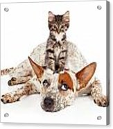Catte Dog With Kitten On His Head Acrylic Print by Susan Schmitz