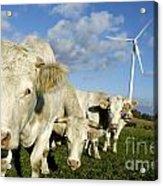 Cattle Acrylic Print by Bernard Jaubert