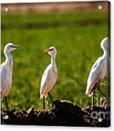 Cattle Egrets Acrylic Print by Robert Bales