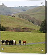 Cattles At Fernandez Ranch California - 5d21062 Acrylic Print by Wingsdomain Art and Photography