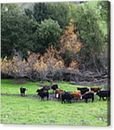 Cattles At Fernandez Ranch California - 5d21071 Acrylic Print by Wingsdomain Art and Photography