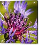 Centaurea Acrylic Print by Matt Dobson