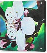 Cherry Blosom Acrylic Print by Joshua Morton