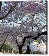 Cherry Blossoms 2013 - 044 Acrylic Print by Metro DC Photography