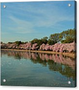 Cherry Blossoms 2013 - 087 Acrylic Print by Metro DC Photography