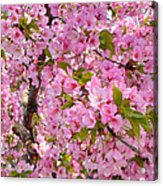Cherry Blossoms 2013 - 097 Acrylic Print by Metro DC Photography