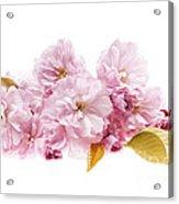 Cherry Blossoms Arrangement Acrylic Print by Elena Elisseeva