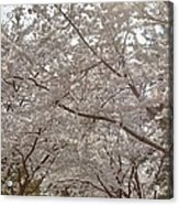 Cherry Blossoms - Washington Dc - 011363 Acrylic Print by DC Photographer