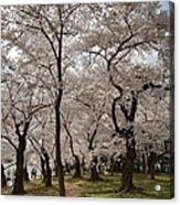 Cherry Blossoms - Washington Dc - 011378 Acrylic Print by DC Photographer