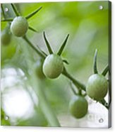 Cherry Tomatoes Acrylic Print by Kay Pickens