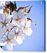 Cherry Tree Blossoms Close Up Acrylic Print by Raimond Klavins