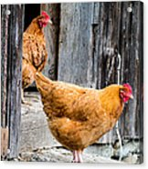 Chickens At The Barn Acrylic Print by Edward Fielding