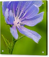 Chicory With Morning Dew Acrylic Print by Anthony Heflin