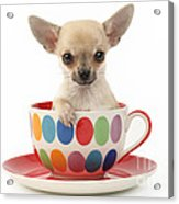 Chihuahua In Cup Dp684 Acrylic Print by Greg Cuddiford