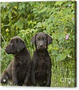 Chocolate Labrador Retriever Puppies Acrylic Print by Linda Freshwaters Arndt