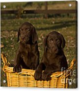 Chocolate Labrador Retriever Pups Acrylic Print by Linda Freshwaters Arndt
