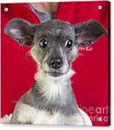 Christmas Dog Acrylic Print by Edward Fielding