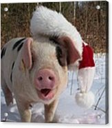 Christmas Pig Acrylic Print by Samantha Howell