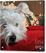 Christmas Westie Acrylic Print by Catherine Reusch  Daley