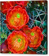 Claret Cup Acrylic Print by Inge Johnsson