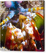 Close-up View Of A Mantis Shrimp Acrylic Print by Steve Jones