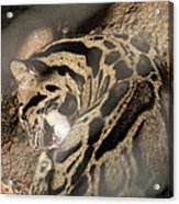 Clouded Leopard - National Zoo - 01134 Acrylic Print by DC Photographer