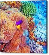 Clown Fish Swimming Near Colorful Corals Acrylic Print by Anna Omelchenko
