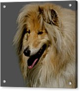 Collie Dog Acrylic Print by Linsey Williams